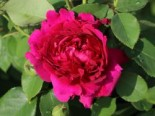 Rosa 'William Shakespeare 2000' ®