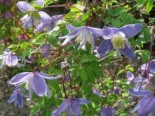 Clematis alpina 'Blue Princess'