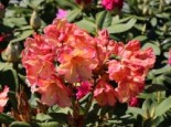 Rhododendron Hybride 'Macarena'