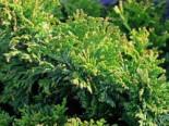 Zwerg-Mooszypresse 'Plumosa Nana' / 'Compacta', 25-30 cm, Chamaecyparis pisifera 'Plumosa Nana' / 'Compacta', Containerware