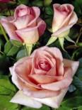 Edelrose 'Summerlady' ®, Rosa 'Summerlady' ®, Wurzelware