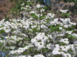 Pazifischer Blumen-Hartriegel 'Ascona', 60-80 cm, Cornus nuttallii 'Ascona', Containerware
