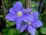 Clematis 'Europa'