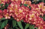Rhododendron 'Balalaika', 30-40 cm, Rhododendron Hybride 'Balalaika', Containerware