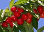Süßkirsche 'Rote Maikirsche', Stamm 40-60 cm, 120-160 cm, Prunus 'Rote Maikirsche', Wurzelware