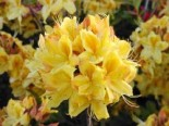 Rhododendron luteum 'Golden Sunset'