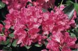 Rhododendron 'Junifreude', 30-40 cm, Rhododendron Hybride 'Junifreude', Containerware