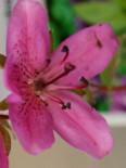 Zwerg-Rhododendron, 10-20 cm, Rhododendron camtschaticum, Containerware