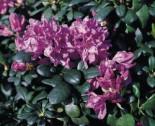 Rhododendron 'Imbricatum', 30-40 cm, Rhododendron ponticum 'Imbricatum', Containerware