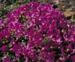 Rhododendron keleticum, 15-20 cm, Containerware
