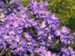 Rhododendron 'Azurwolke', 30-40 cm, Rhododendron russatum 'Azurwolke', Containerware