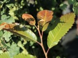 Esskastanie 'Annys Summer Red', 60-80 cm, Castanea sativa 'Annys Summer Red', Containerware