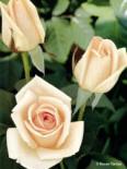 Edelrose 'Osiana' ®, Rosa 'Osiana' ®, Wurzelware