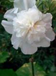 Gefülltblühende Stockrose 'Pleniflora Weiß', Alcea rosea 'Pleniflora Weiß', Topfware