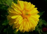Chrysanthemum x hortorum 'Citrus'