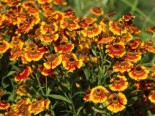Sonnenbraut 'Flammenrad', Helenium x cultorum 'Flammenrad', Topfware