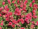 Helianthemum x cultorum 'Cerise Queen'