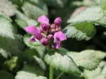 Lamium maculatum 'Red Nancy'
