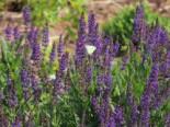 Blüten-Salbei 'Tänzerin', Salvia nemorosa 'Tänzerin', Topfware