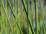 Gewöhnliche Teichbinse / Teichsimse, Scirpus lacustris, Topfware