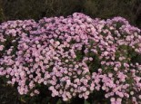 Winteraster 'Mei-kyo', Chrysanthemum x hortorum 'Mei-kyo', Topfware