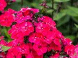 Phlox paniculata 'Grenadine Dream' ®