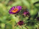 Raublatt-Aster 'Violetta', Aster novae-angliae 'Violetta', Topfware