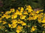 Sonnenbraut 'Herbstgold', Helenium x cultorum 'Herbstgold', Topfware