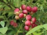 Heidelbeere `Pink Lemonade ®`