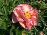 Paeonia Itoh-Hybride 'Old Rose Dandy'