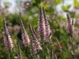 Veronica spicata 'Younique Baby Pink'