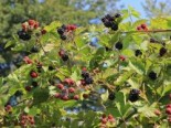 Zucker-Brombeere 'Asterina' ®, 30-40 cm, Rubus 'Asterina' ®, Containerware