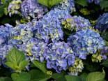 Ballhortensie 'Early Blue', 30-40 cm, Hydrangea macrophylla 'Early Blue', Containerware