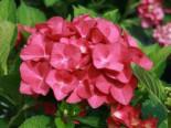 Ballhortensie 'Hot Red', 20-30 cm, Hydrangea macrophylla 'Hot Red', Containerware