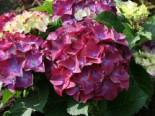 Ballhortensie 'Hot Red Purple', 30-40 cm, Hydrangea macrophylla 'Hot Red Purple', Containerware