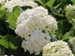 Ballhortensie Endless Summer ® 'The Bride' ®, 20-30 cm, Hydrangea macrophylla Endless Summer ® 'The Bride' ®, Containerware