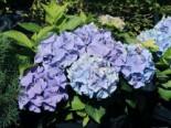 Ballhortensie Everbloom ® 'Blue Wonder' ®, 30-40 cm, Hydrangea macrophylla Everbloom ® 'Blue Wonder' ®, Containerware