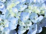 Ballhortensie 'Generale Vicomtesse de Vibraye', 30-40 cm, Hydrangea macrophylla 'Generale Vicomtesse de Vibraye', Containerware