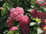 Ballhortensie 'Invincibelle Spirit' ® / 'Pink Annabelle' ®, 20-25 cm, Hydrangea arborescens 'Invincibelle Spirit' ® / 'Pink Annabelle' ®, Containerware