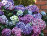 Ballhortensie 'L.A. Dreamin' ®, 30-40 cm, Hydrangea macrophylla 'L.A. Dreamin' ®, Containerware
