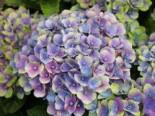 Ballhortensie Magical ® Four Seasons 'Amethyst ®' Blau, 20-30 cm, Hydrangea macrophylla Magical ® Four Seasons 'Amethyst ®' Blau, Containerware