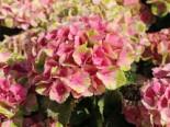 Ballhortensie Magical ® Four Seasons 'Amethyst ®' Rosa / Pink, 30-40 cm, Hydrangea macrophylla Magical ® Four Seasons 'Amethyst ®' Rosa / Pink, Containerware