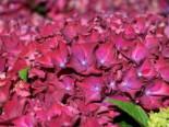 Ballhortensie 'Red Beauty' (Lila), 30-40 cm, Hydrangea macrophylla 'Red Beauty' (Lila), Containerware