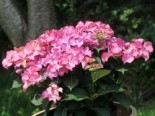 Ballhortensie Royalty ® Collection 'Tiffany ® Pink', 30-40 cm, Hydrangea macrophylla Royalty ® Collection 'Tiffany ® Pink', Containerware