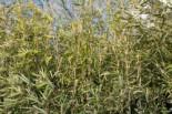 Bambus, 80-100 cm, Fargesia nitida, Containerware
