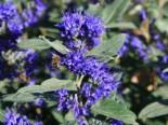 Bartblume 'Grand Bleu' ®, 40-60 cm, Caryopteris clandonensis 'Grand Bleu' ®, Containerware