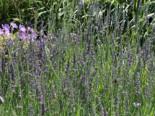 Bastard-Lavendel 'Dutch', Lavandula x intermedia 'Dutch', Topfware
