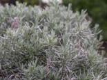 Bastard-Lavendel 'Grappenhall', Lavandula x intermedia 'Grappenhall', Topfware