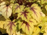 Heucherella tiarelloides 'Alabama Sunrise'