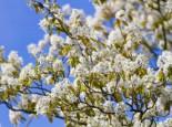 Baum Felsenbirne Robin Hill